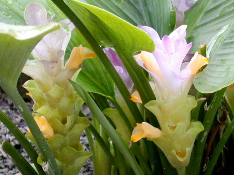 malaysian Ginger -The Curcuma
